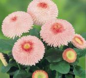 Gänseblümchen-Rosa