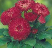 Gänseblümchen-Rot