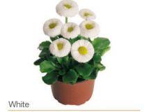 Gänseblümchen-weiß