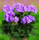 Geranie stehend Grandeur-Classic-Dark-Lavender