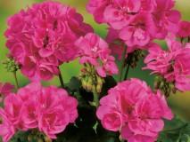 Geranie stehend Grandeur-Classic-Rose