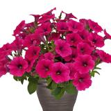 Petunia-Hot-Pink