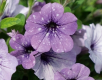 Petunia-Lavender-Sky