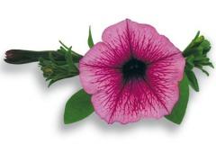 Petunia Surfinia Baby Pink Vein