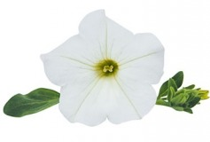 Petunia Surfinia Impulz White