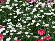 Margeritte Weiß gefüllt