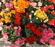 Elatior-Begonien verschiedene Farben