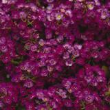 Steinkraut-Purple-Crystals