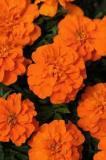 Tagetes-Orange