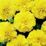 Tagetes-Yellow