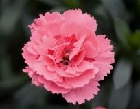 Topfnelke-Oscar-Pink