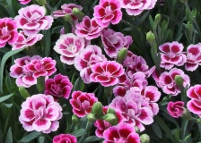 Topfnelke-Pink-Kisses