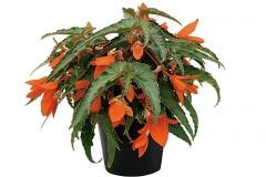 Hängebegonie Summerwings Orange