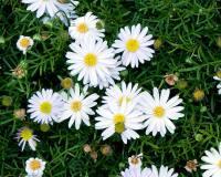 Brachyscome-Surdaisy-White