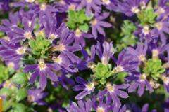 Fächerblume Surdiva Blue Violet