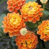 Wandelröschen Evita-Orange
