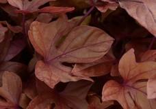 Suesskartoffel-Sweet-Caroline-Copper