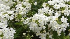 Verbena-Estrella-White