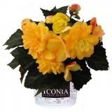 Begonia-Portofino-Citrix