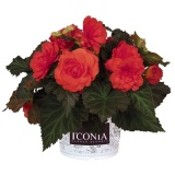 Begonia-Portofino-Coral