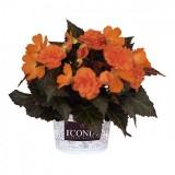 Begonia-Portofino-Orange