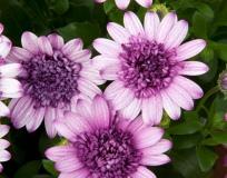 Kapmargeritten-Dark-Violet-White