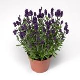 Lavendel-Blue-Scent