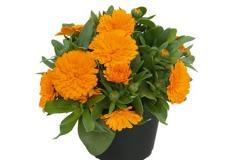 Calendula Powerdaisy orange