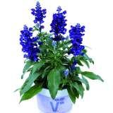 Salvia-Farina-Blue