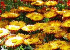 Strohblume-Sunbrella-Orange