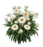 Strohblume-Sunbrella-White