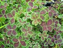 Zierklee-Trifolium-Quadrifolium