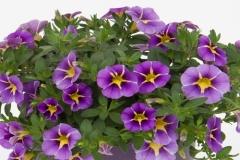 Zauberglöckchen Rave Violet