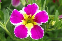 Calibrachoa Superbells Pink Starburst