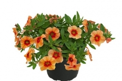 Calibrachoa Unique 'Mango Punch'