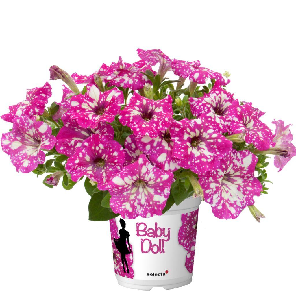 Petunia cultivars BabyDoll