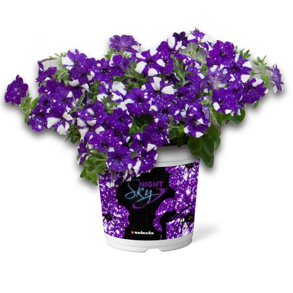 Petunia cultivars NightSky