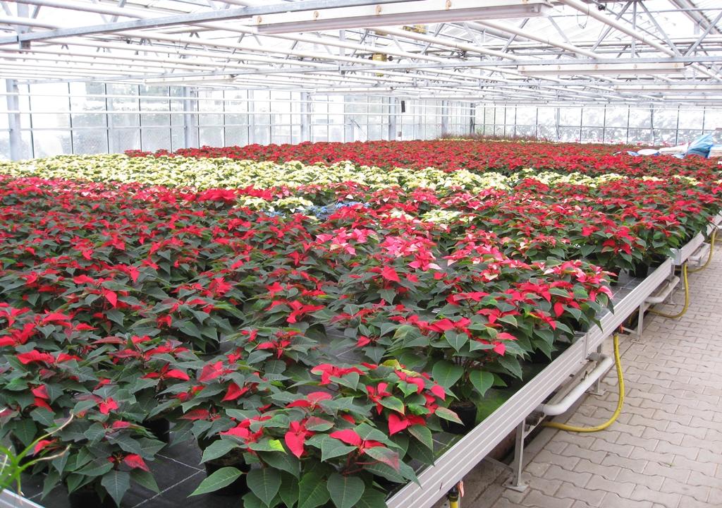 Weihnachtssterne Produktion